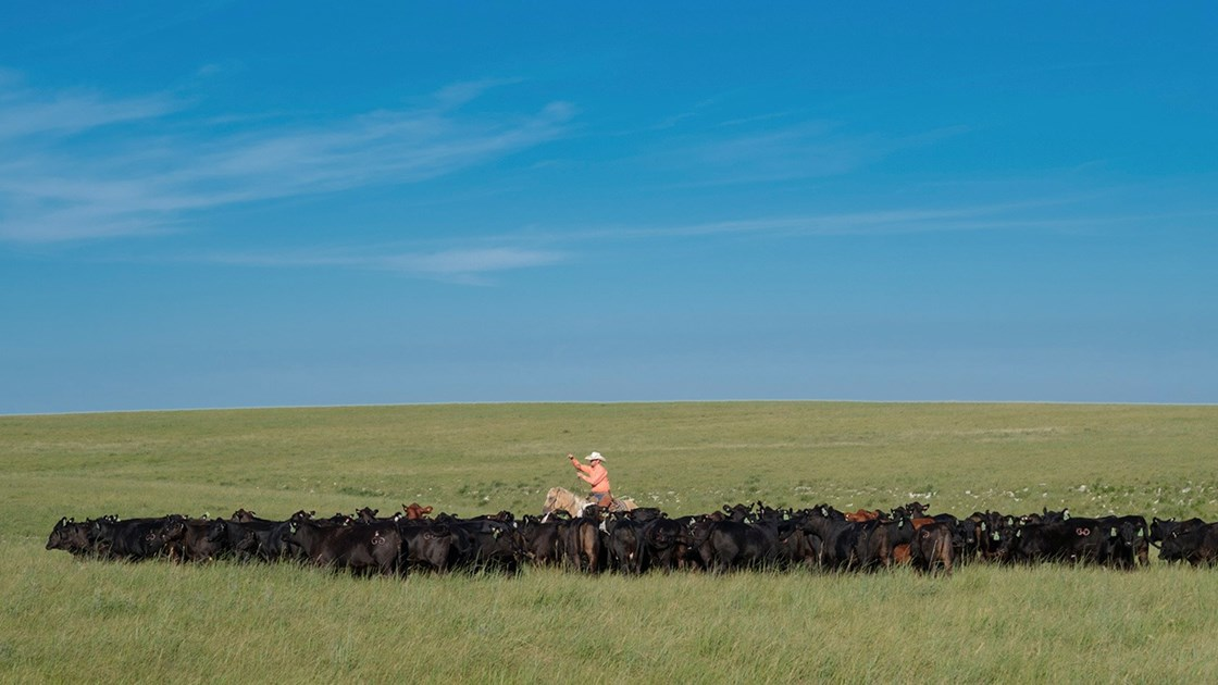 Caring for Cattle on the Pasture