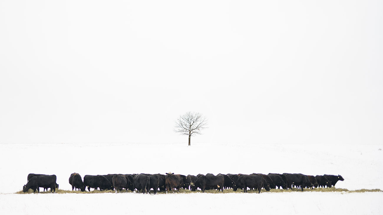 cattle eating hay in winter