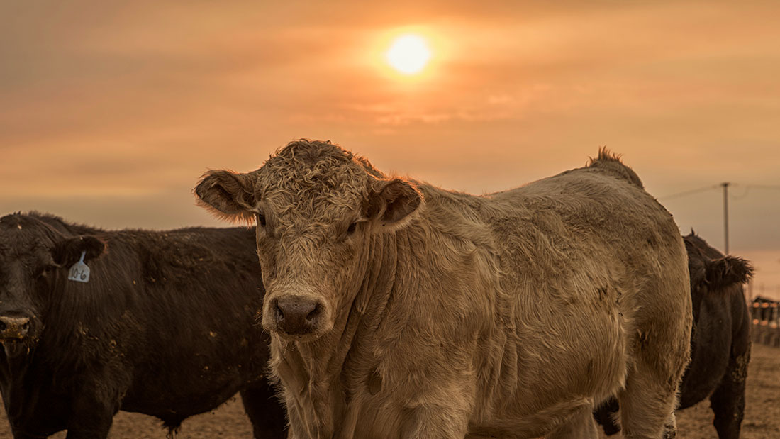 charlais cattle in the morning sun feedyard sunrise