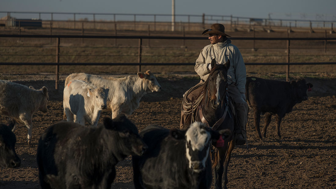 pen rider looking at cattle in feedyard kansas beef