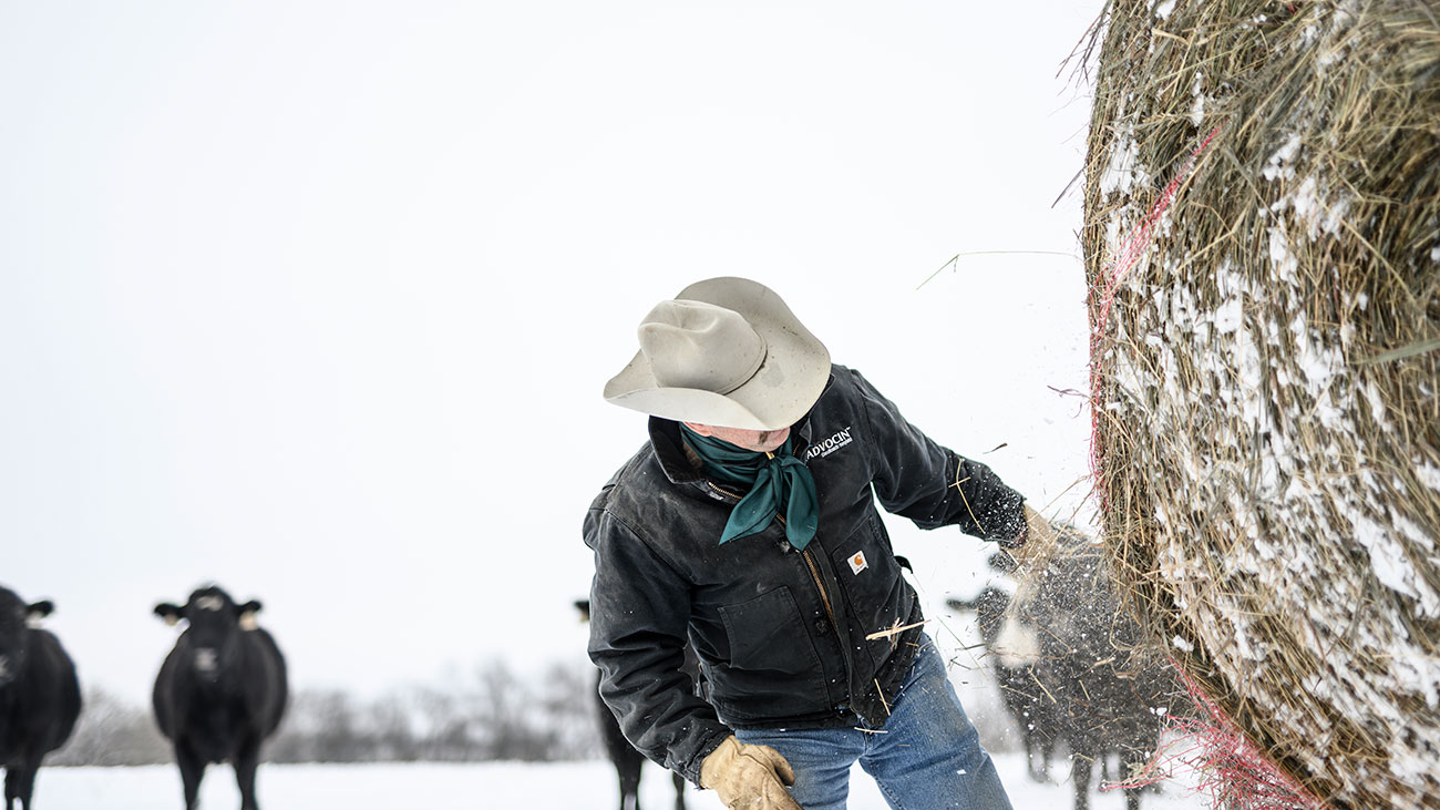 rancher cutting hay bales on truck feeding winter
