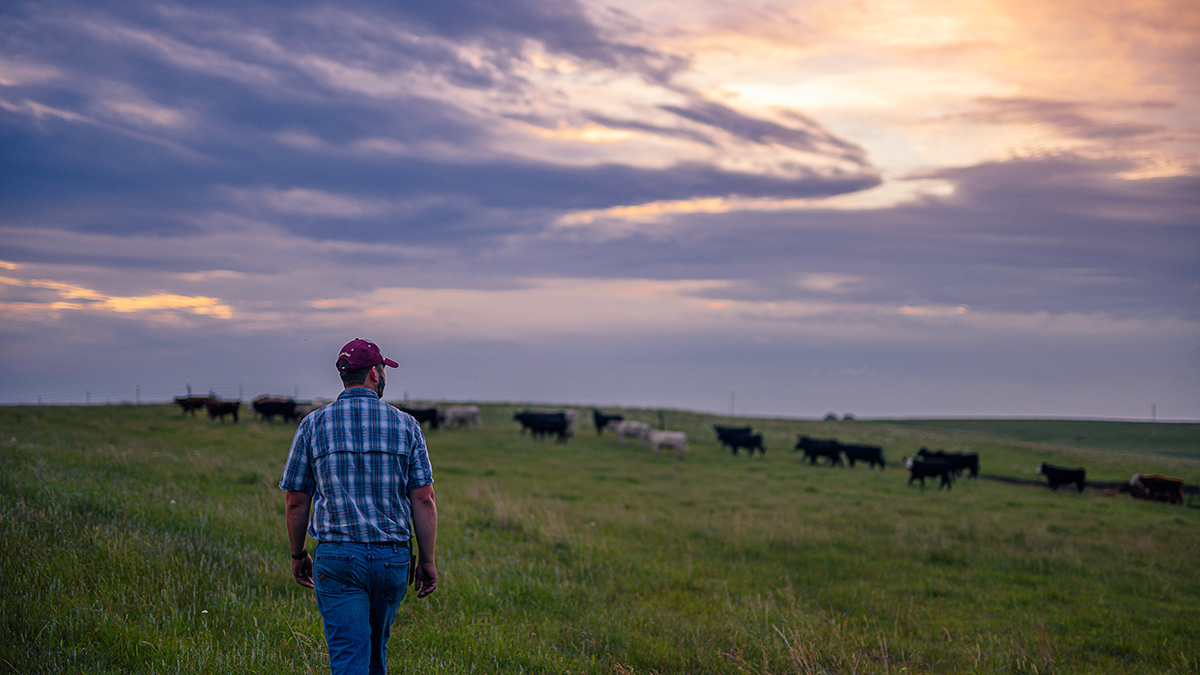 rancher checking on health of cattle in pasture